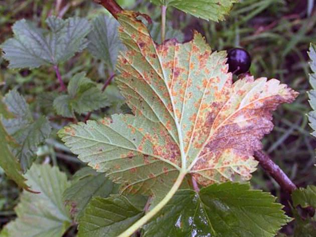 Іржа на листі смородини