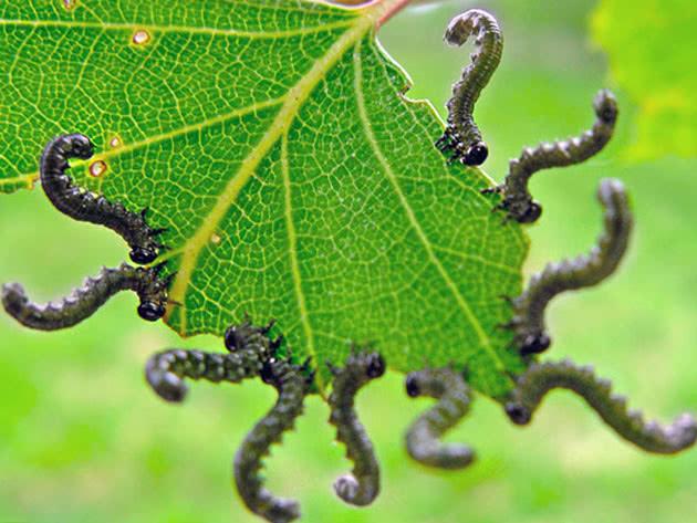 Гусеница на листьях смородины