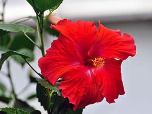 Китайская роза или гибискус китайский