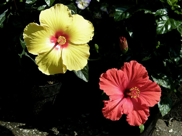 Квіти китайська троянда або гібіскус