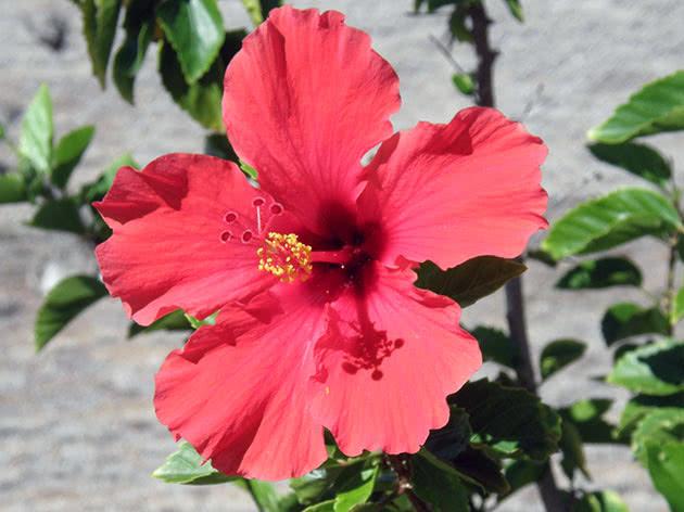 Рослина китайська троянда в горщику