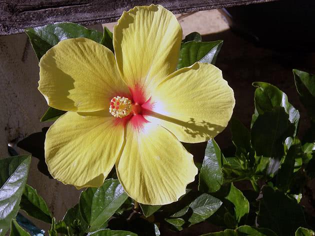 Жовта китайська троянда