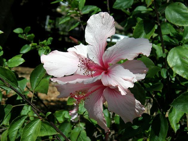 Китайська троянда в саду
