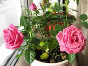 Куст комнатной розы