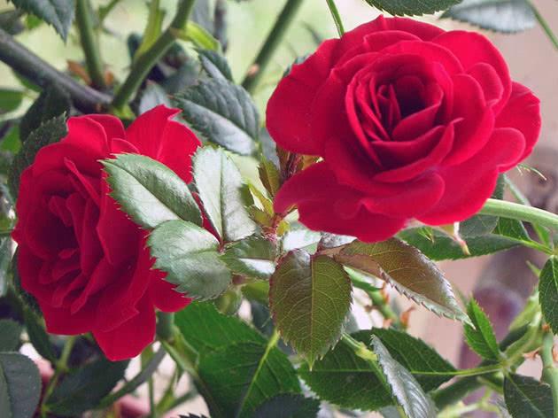 Красная комнатная роза