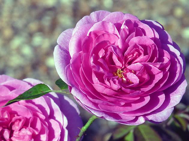Фиолетовая комнатная роза