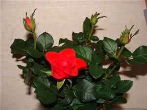 Червона кімнатна троянда