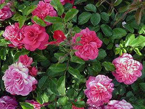 Кущова троянда