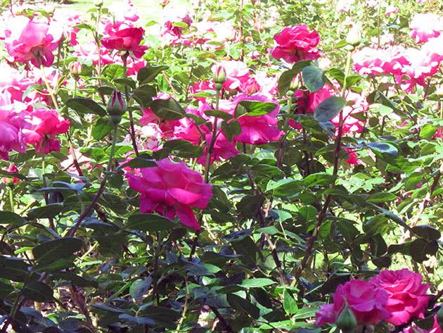 Вирощування кущової троянди в саду