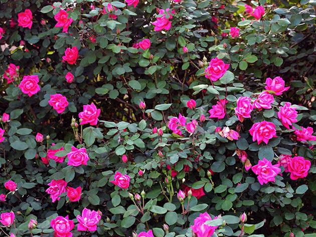 Цвітіння садової троянди