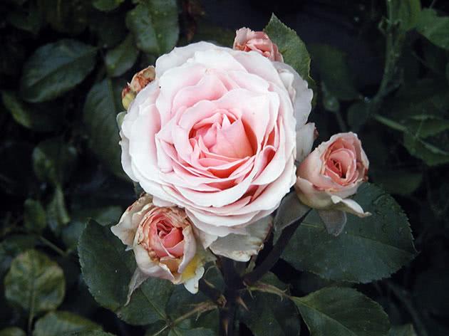 Квітуча кущова троянда