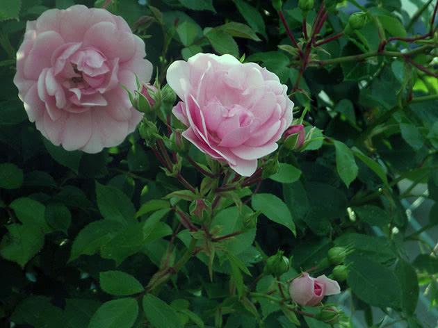 Квітка троянди в саду