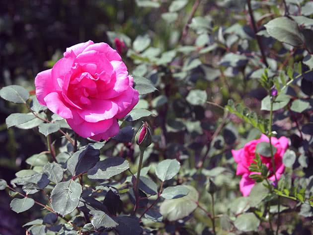 Квітка троянди на кущі