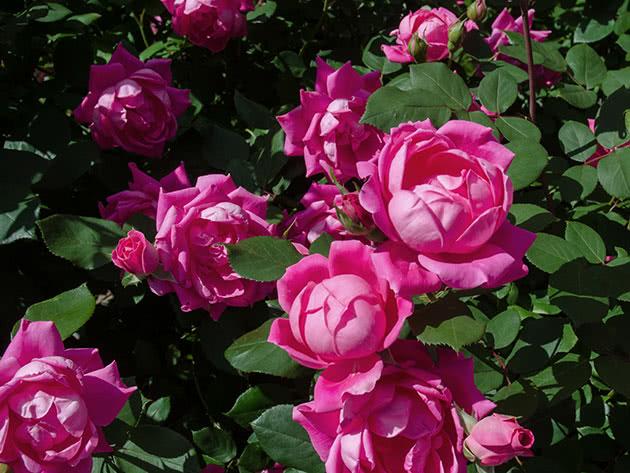 Трояндовий кущ у саду