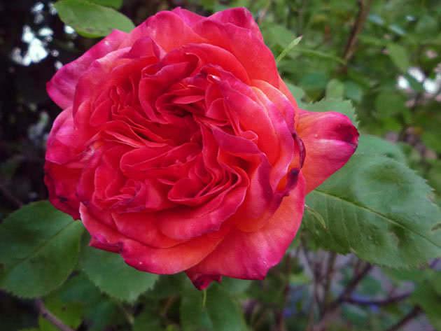 Велика червона троянда