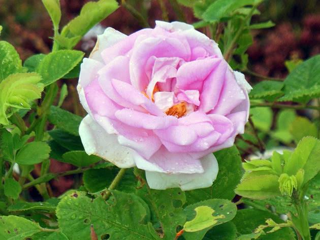 Рожева троянда на кущі