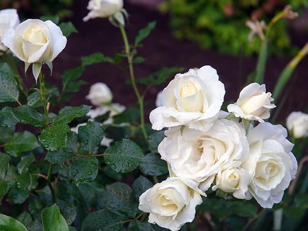 Білі кущові троянди