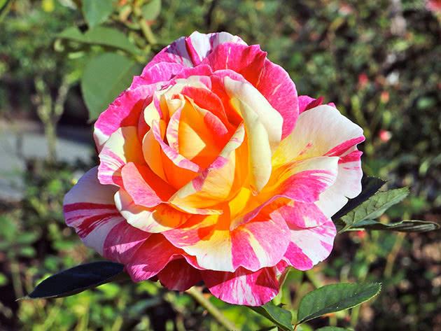 Красива строката садова троянда