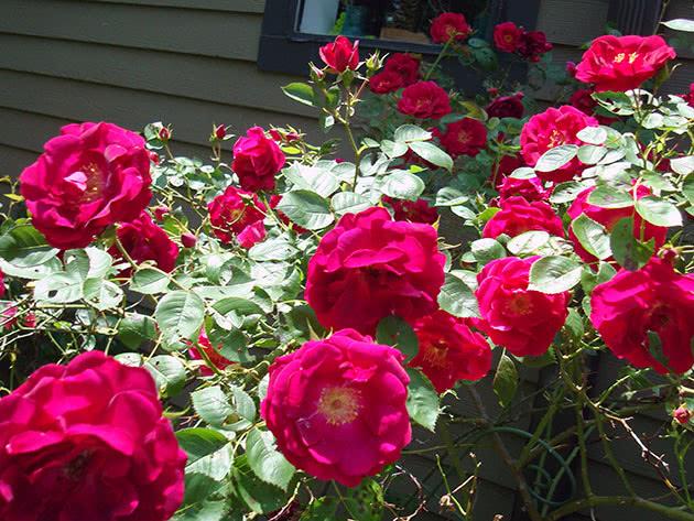 Квітучий кущ троянди у саду