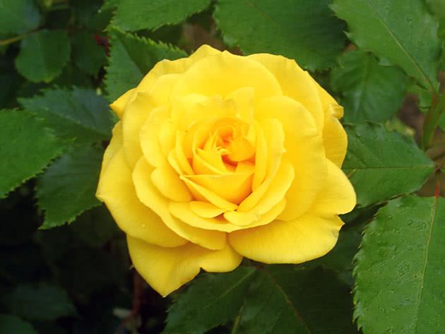 Жовта квітка садової троянди