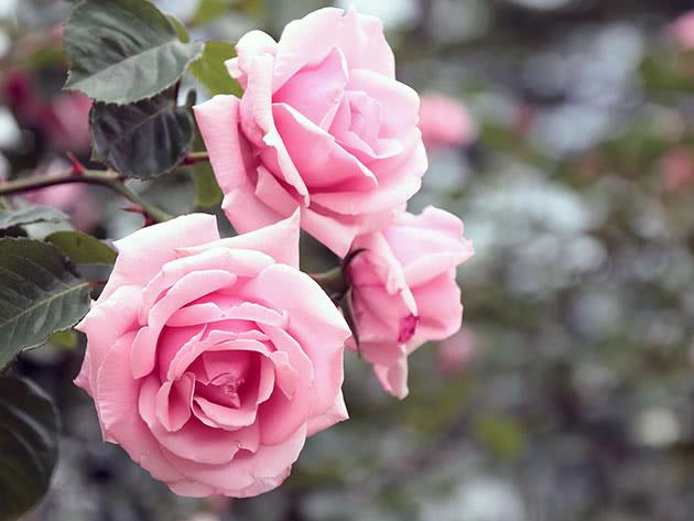 Рожева в'юнка троянда