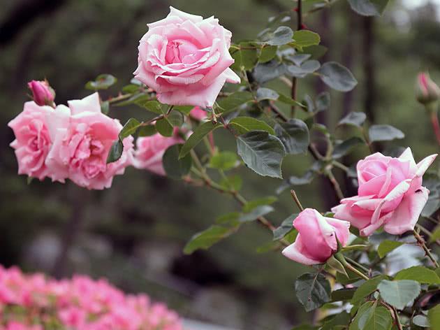Цвітіння в'юнкої троянди