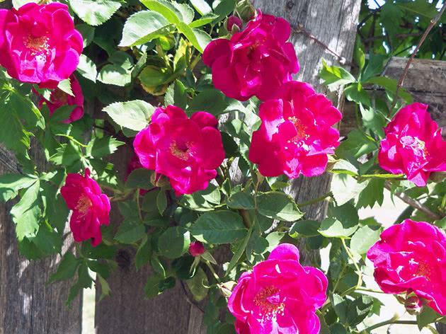 Як цвіте в'юнка троянда