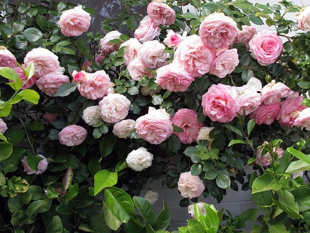 Кущ в'юнкої троянди