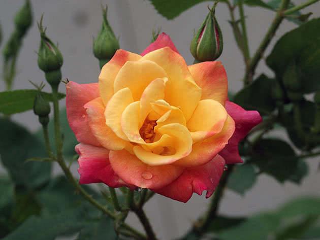 Квітуча в'юнка троянда