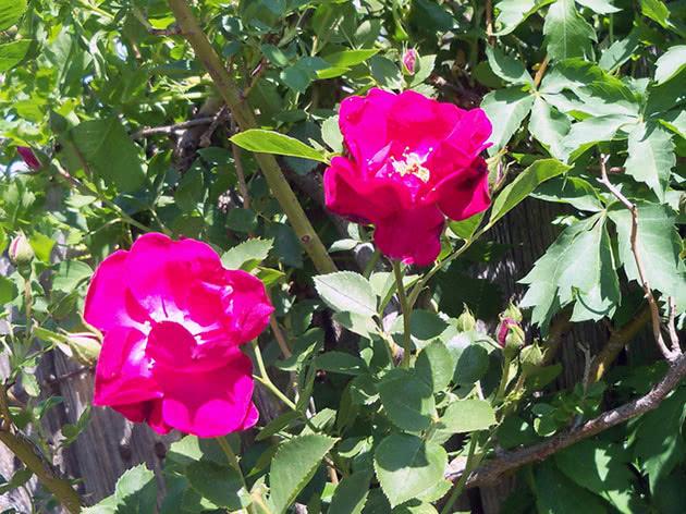Цвітіння в'юнкої троянди в саду