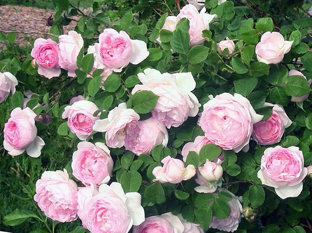 Посадка та догляд за в'юнкою трояндою