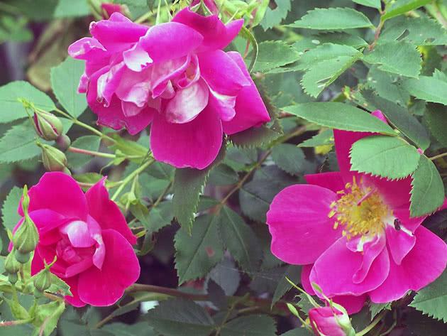 Квітки троянди на кущі
