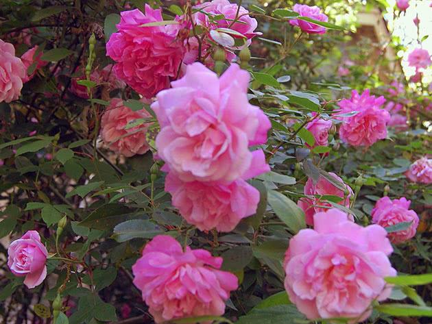 Квітучий кущ в'юнкої троянди