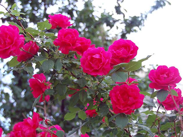 Червона в'юнка троянда