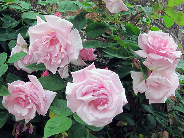 Квітки рожевої в'юнкої троянди