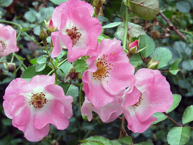 Посадка в'юнкої троянди і догляд за нею в саду