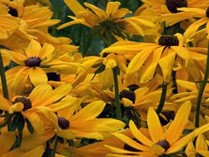 Квітка рудбекія