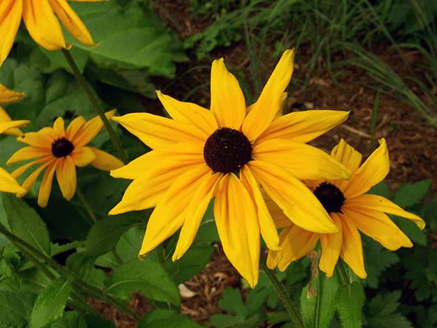 Квітуча рудбекія