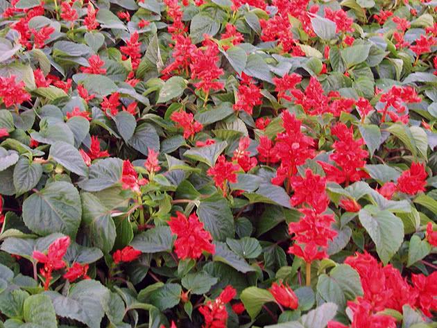 Scarlet sage, or tropical sage / Salvia splendens