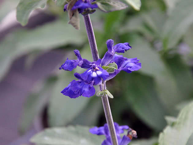 Mealy sage / Salvia farinacea