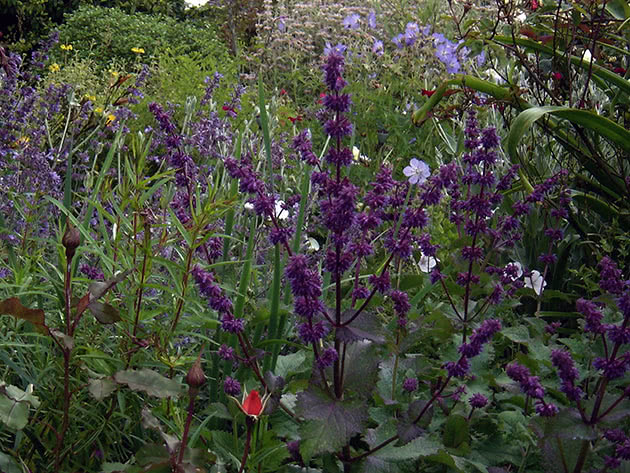 Whorled clary / Salvia verticillata