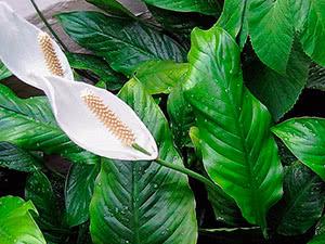 Квітка спатифіллум (спатифіллюм)