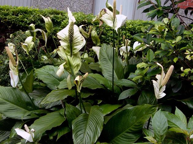 Квітучий спатифіллум
