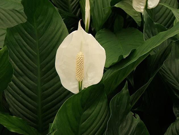 Квітка спатифіллума