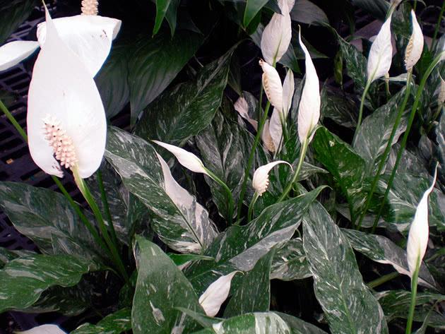 Спатифіллум Доміно / Spathiphyllum Domino