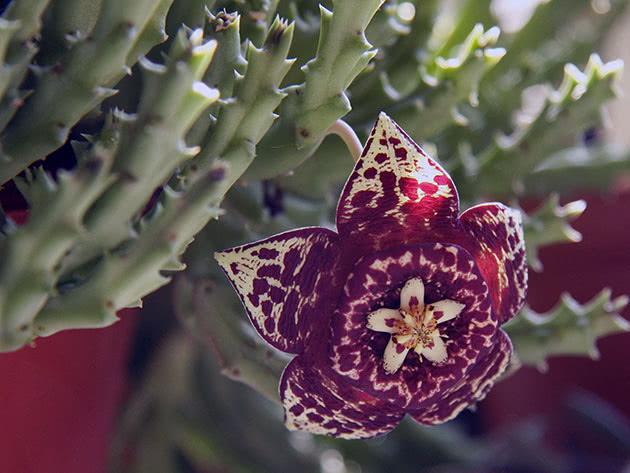 Квітуча стапелія вдома