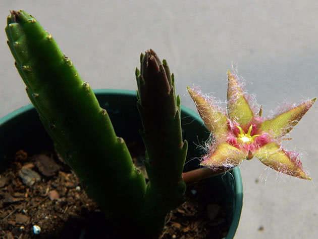 Комнатный цветок стапелия