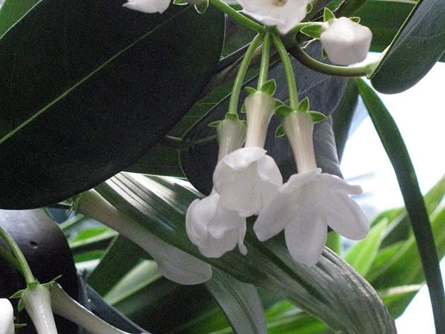 Квітка стефанотіс