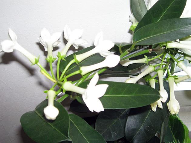 Квітучий стефанотіс