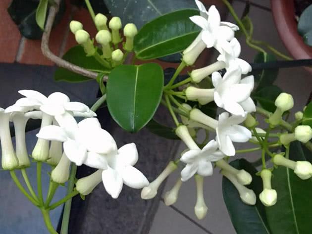 Квітучий стефанотіс удома